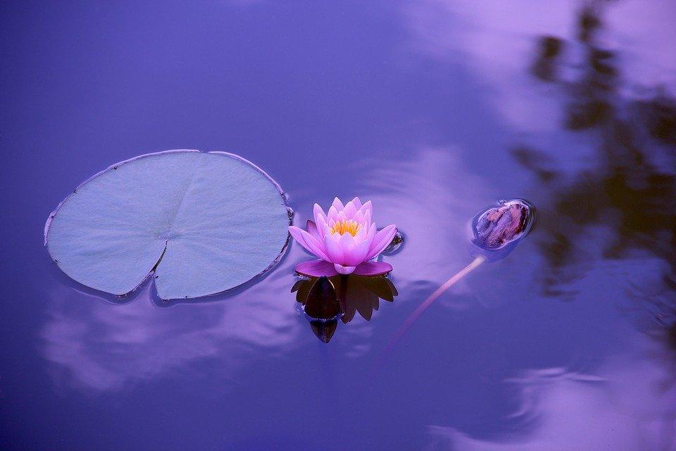 Lótus, Natural, Água, Meditação, Zen, Espiritualidade