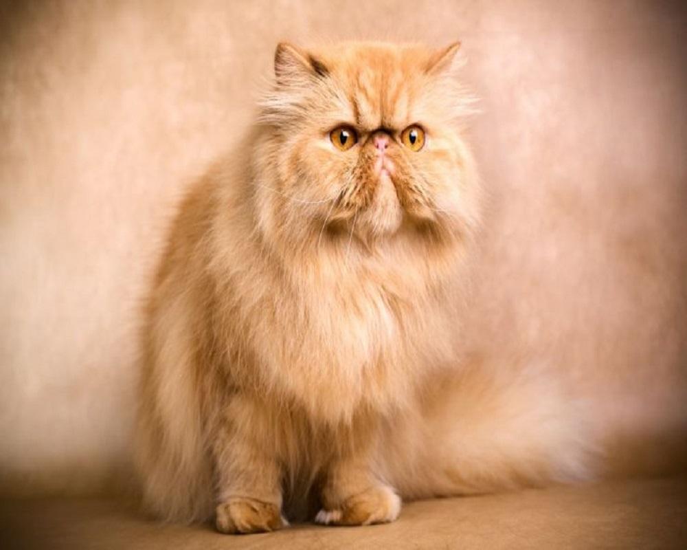 نژادهای مطرح گربه در ایران 2