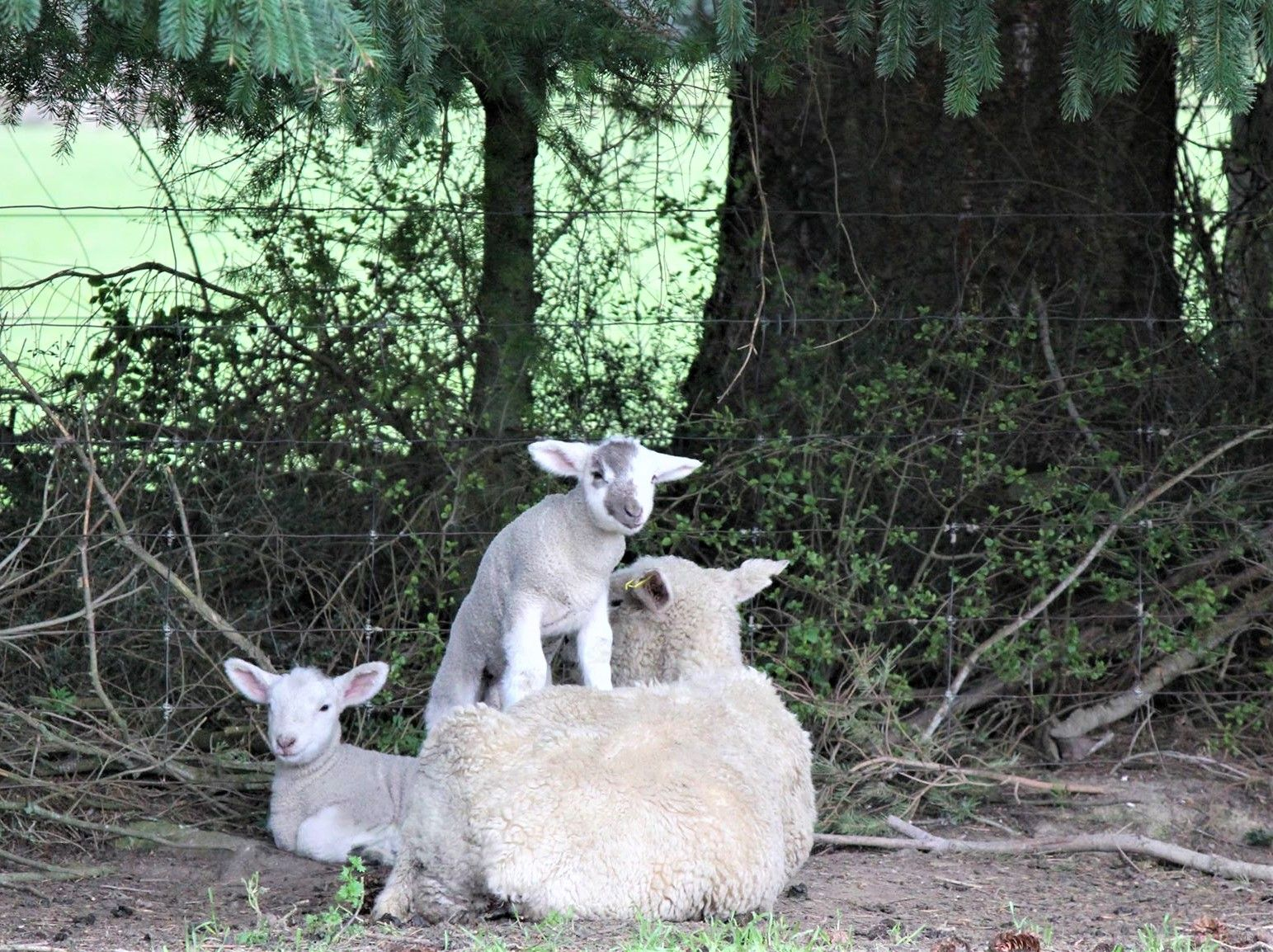 Ewe and lambs sheltering under a tree at lambing time.