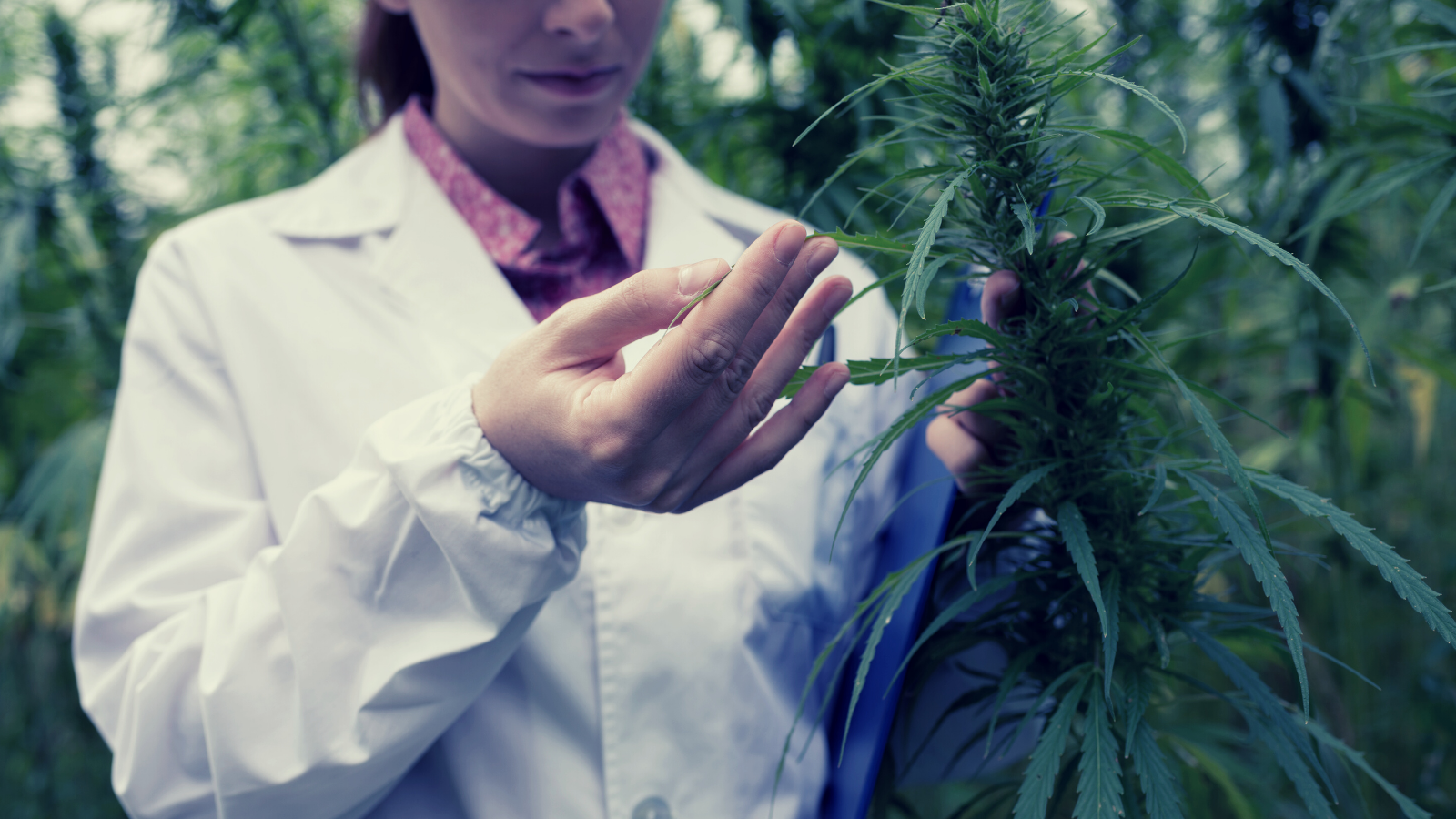 A scientist and researcher inspects cannabis flowers.