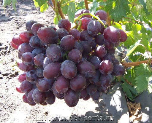 """Картинки по запросу """"виноград заря несветая"""""""
