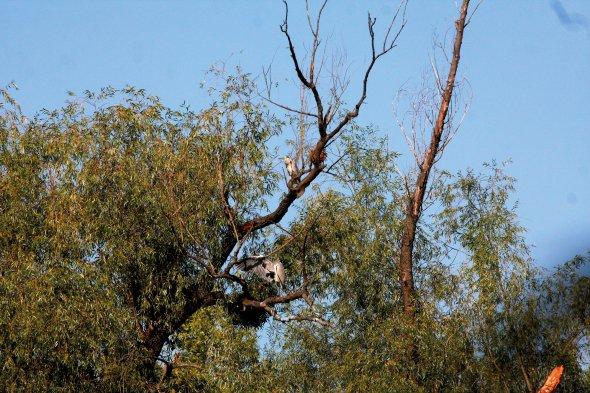 Сіра чапля сидить навербі устоличному урочищі Горбачиха. Також тут живуть червонокнижні крячки, кулики ймартини