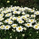 https://www.vitroflora.pl/img/produkty/rosliny/_137X137/leucanthemum-snow-cap_70752_3.jpg