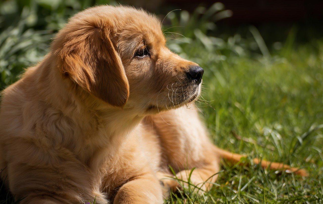 Golden Retriever razas de perros de compañía