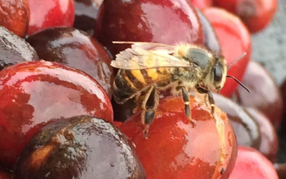 abelha no fruto do café