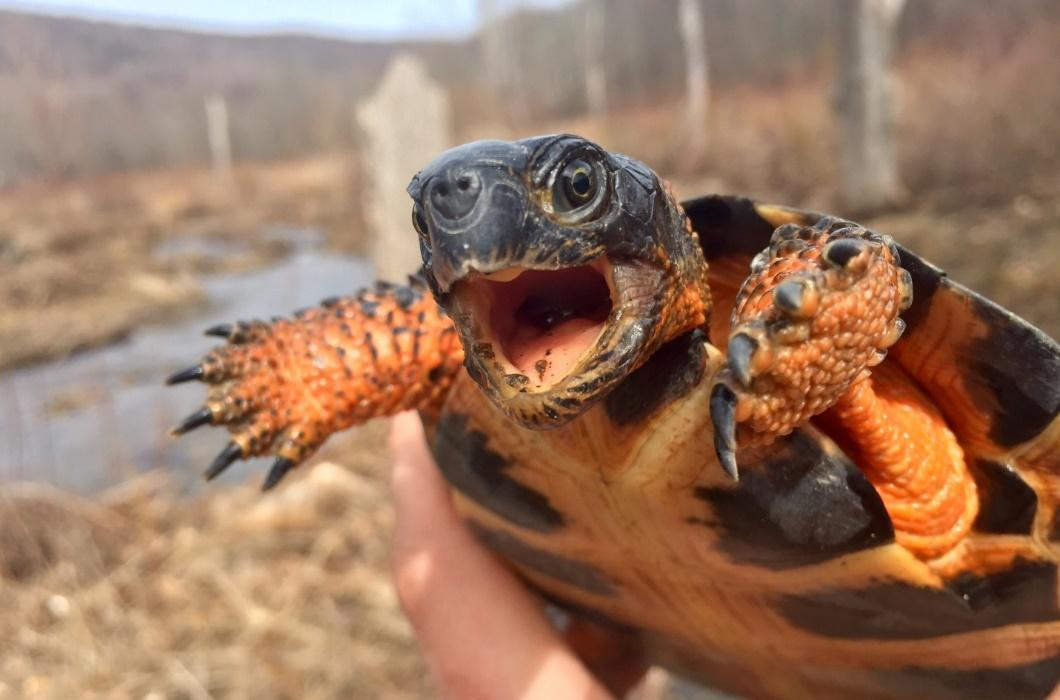 Image result for wood turtle