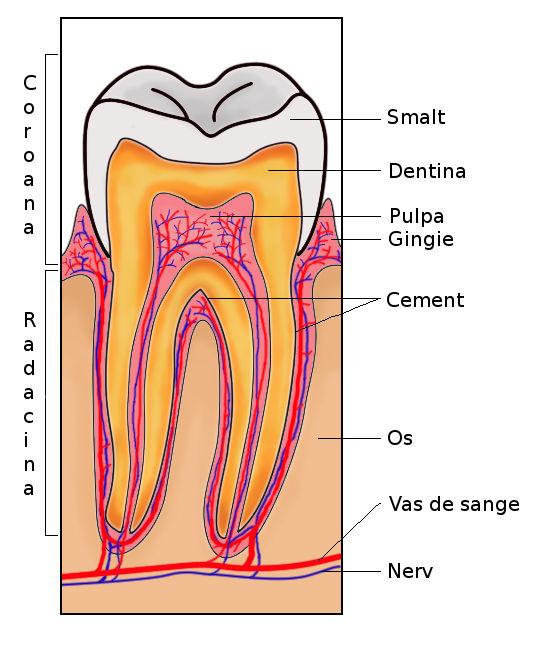 anatomia-dintelui