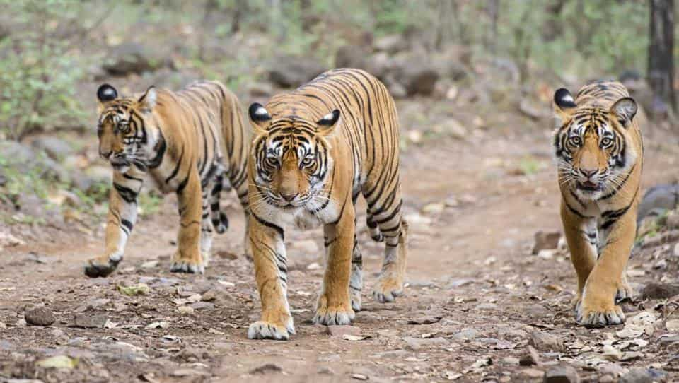 A tigeress with her juvenile cubs (Bengal tigers, also called