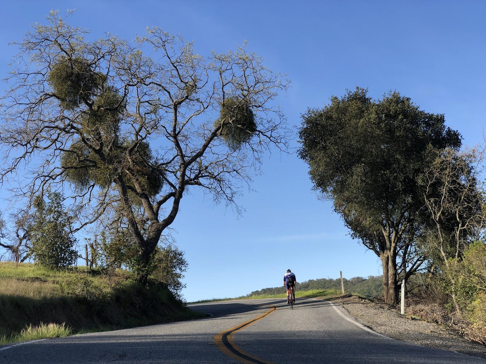 Climbing Mt. Hamilton  by bike - cyclist on bike on road riding between oak trees.