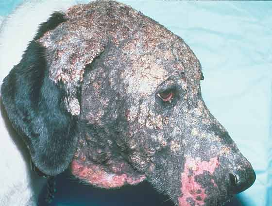 Severe crusting on the head of a 10-year-old, castrated Beagle mixed breed with dermatophytosis caused by Trichophyton mentagrophytes