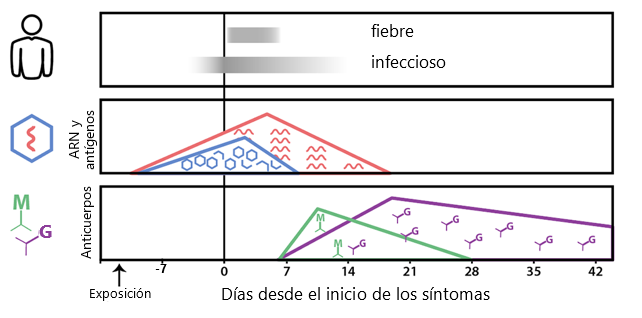 Este diagrama indica la línea de tiempo en la que diferentes pruebas se vuelven positivas, que también se cubre en los puntos a continuación.