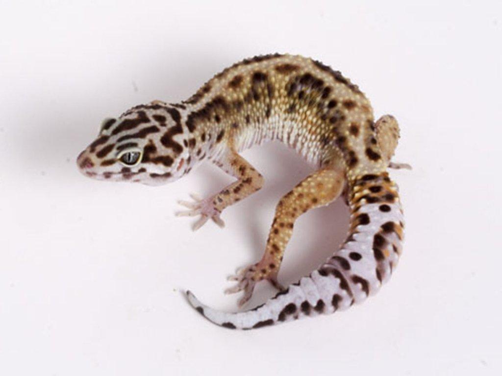 Image result for male leopard gecko