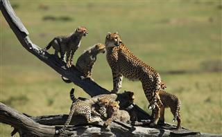 Image result for cheetah reintroduction project