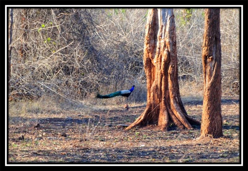 Betla Forest - Peacock