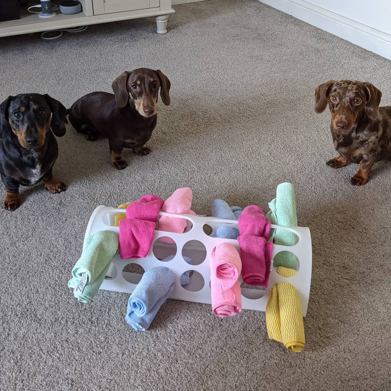 Dachshund puppies playing a puzzle game