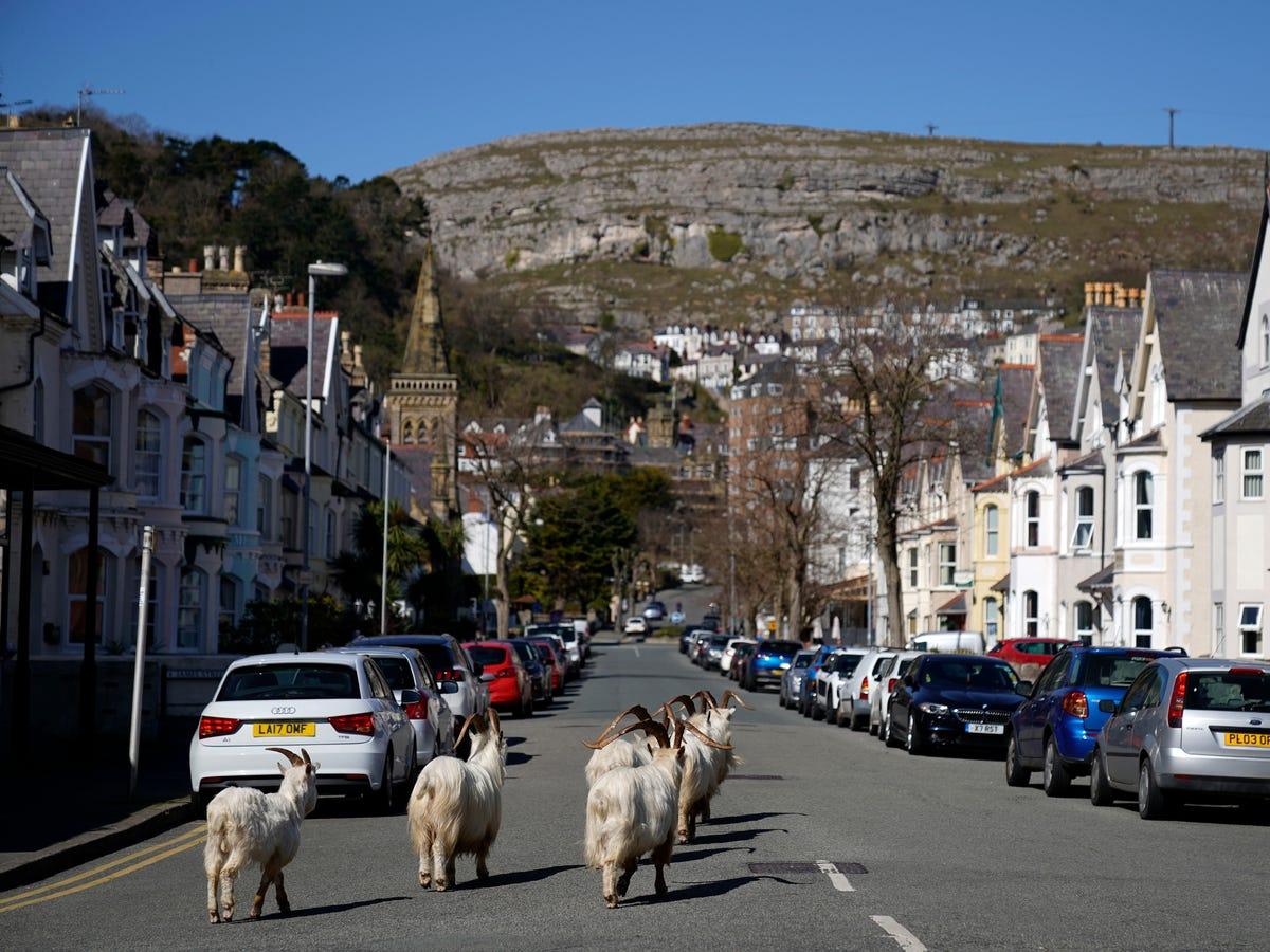 welsh town goats coronavirus lockdown