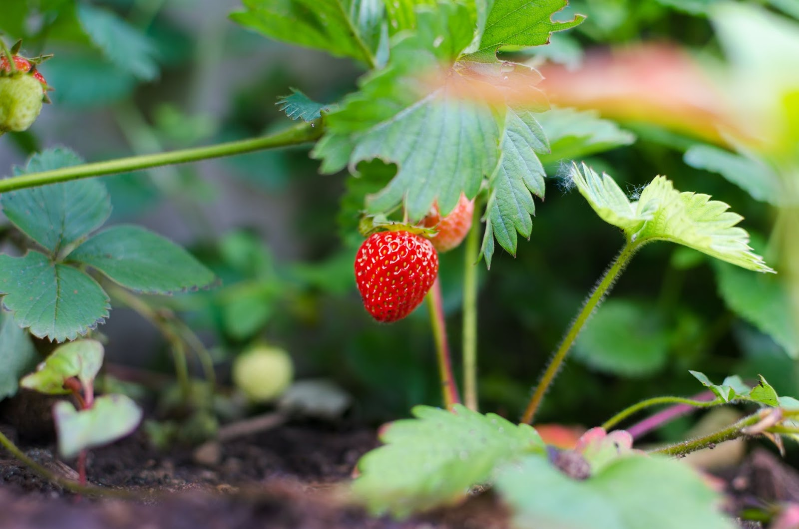 100 things to do in melbourne with kids strawberry picking bacchus marsh