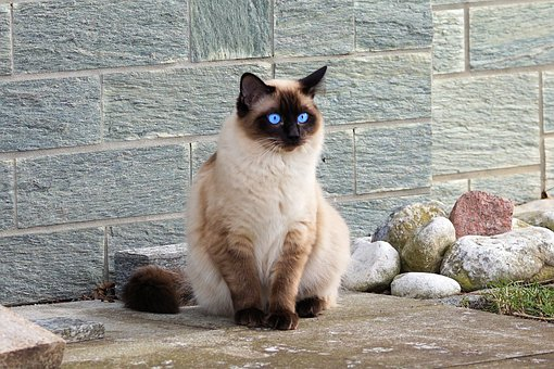 The Siamese Cats - Do You Really Want One?