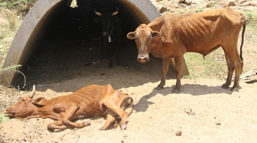 Stress nhiệt khiến vật nuôi sút cân, giảm miễn dịch