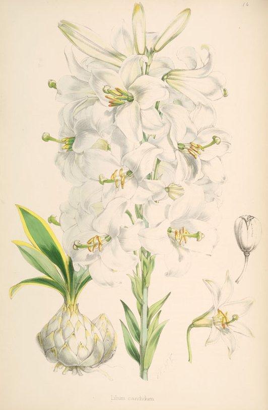 "Walter Hood Fitch, ""Lilium Candidum."" lithograph, 1877"