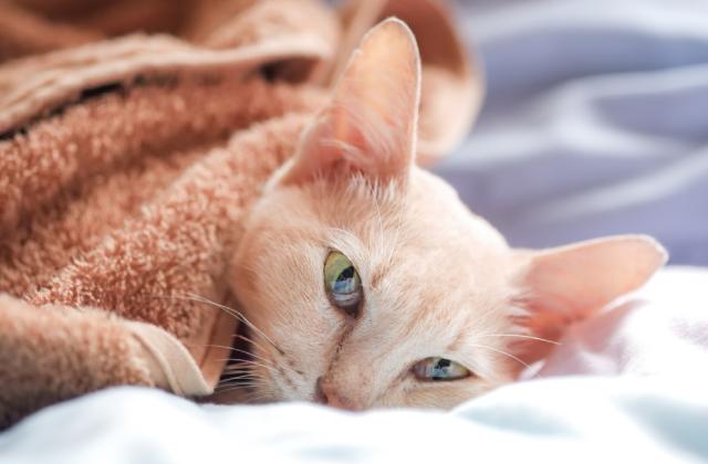 dấu hiệu nhận biết mèo bị đau mắt có thể là chảy nước mắt liên tục