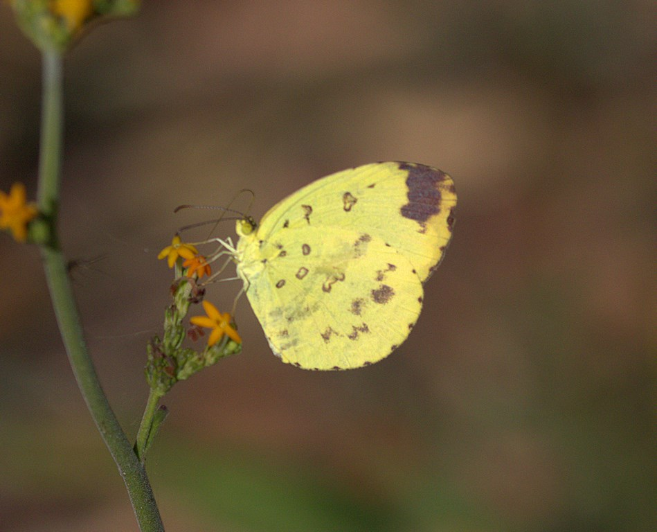common grass yellow (Copy).jpg