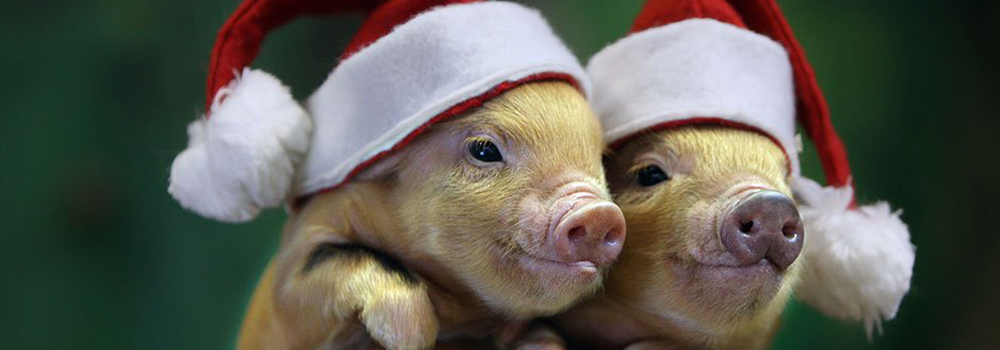 Christmas piglets at Pennywell Farm.
