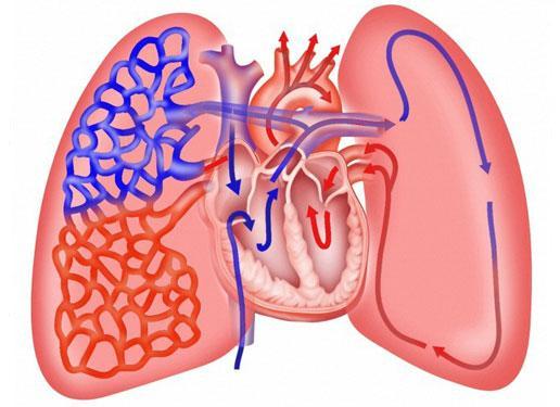 Kết quả hình ảnh cho tim và phổi