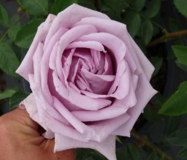 https://rosariumlottum.com/wp-content/uploads/2014/12/indigoletta_-klimroos_477_0-570x428.jpg