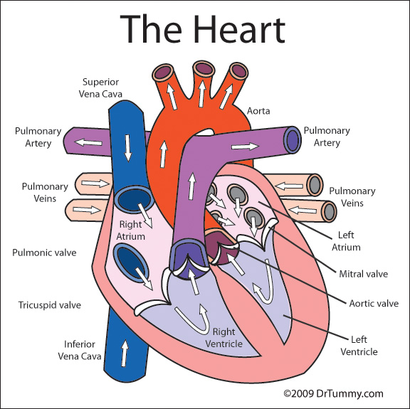 The circulatory system circulatory system the circulatory system ccuart Choice Image