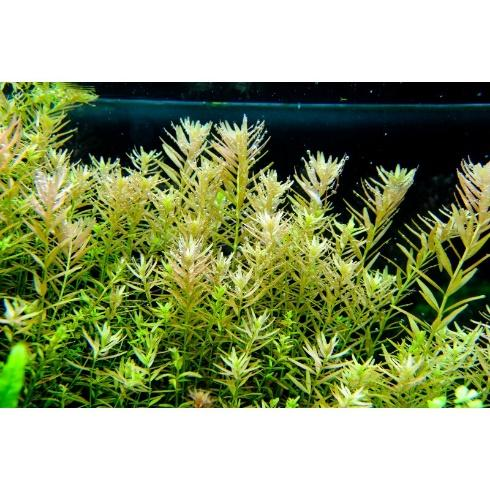 Image result for rotala rotundifolia