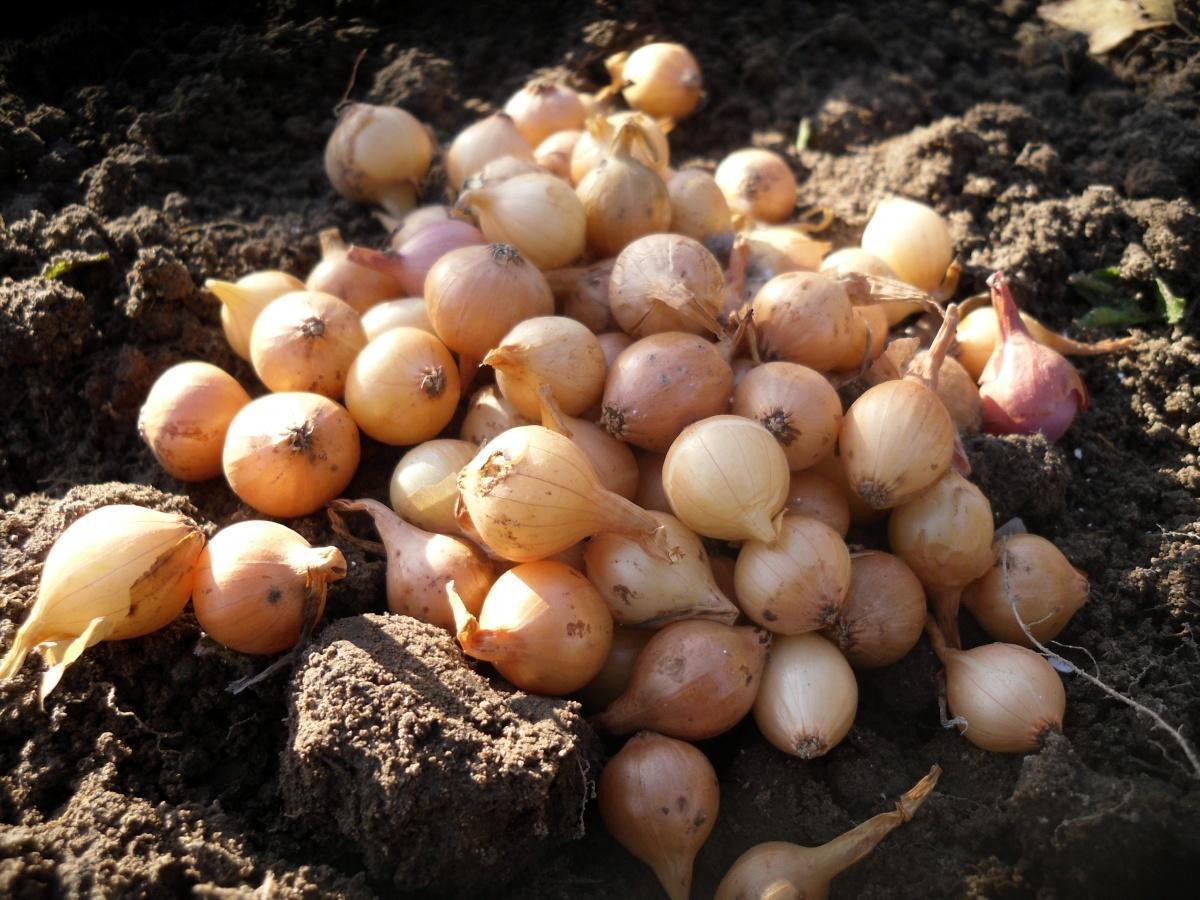 Сортировка луковиц