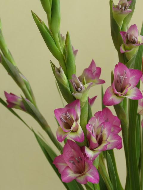 hoa layon