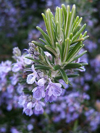 Thảo Mộc Garden: Hạt giống Cây hương thảo Rosemary