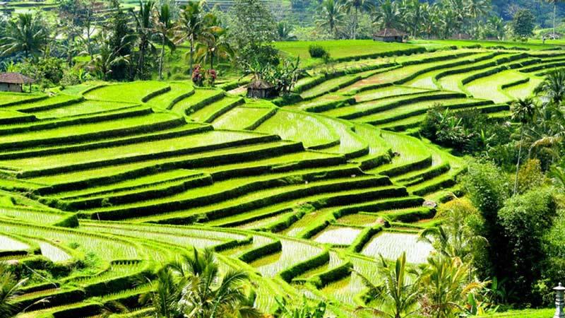 Things to Do in Bali: Jatiluwih Rice Fields