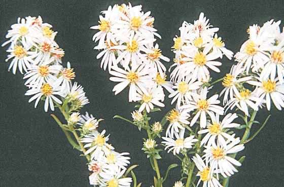 White fall aster