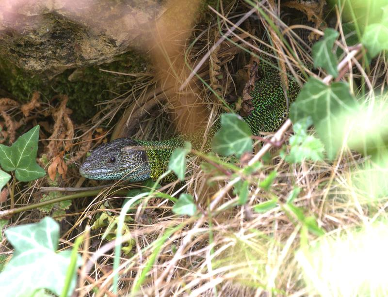 Schreiber's green lizard2_rsz.jpg