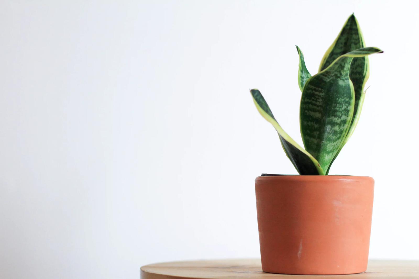 petite plante serpent dans un pot orange