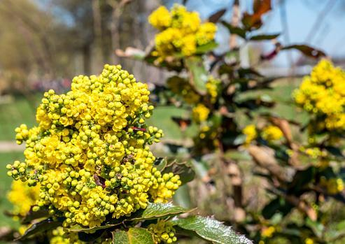 https://media.istockphoto.com/photos/common-mahonia-flower-plant-picture-id1211408239?b=1&k=6&m=1211408239&s=170667a&w=0&h=I4n_JxoDXd_WnxO9tZZlWPat7T7vnALbD0jtqzcW4z4=
