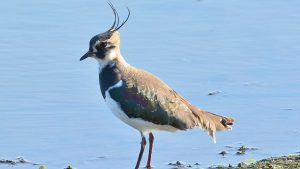Lapwing near water