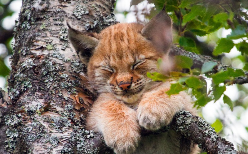 0_CATERS_LYNX_KITTEN_04-800x498.jpg