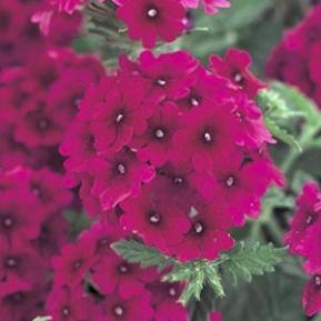 Image result for verbena superbena burgundy