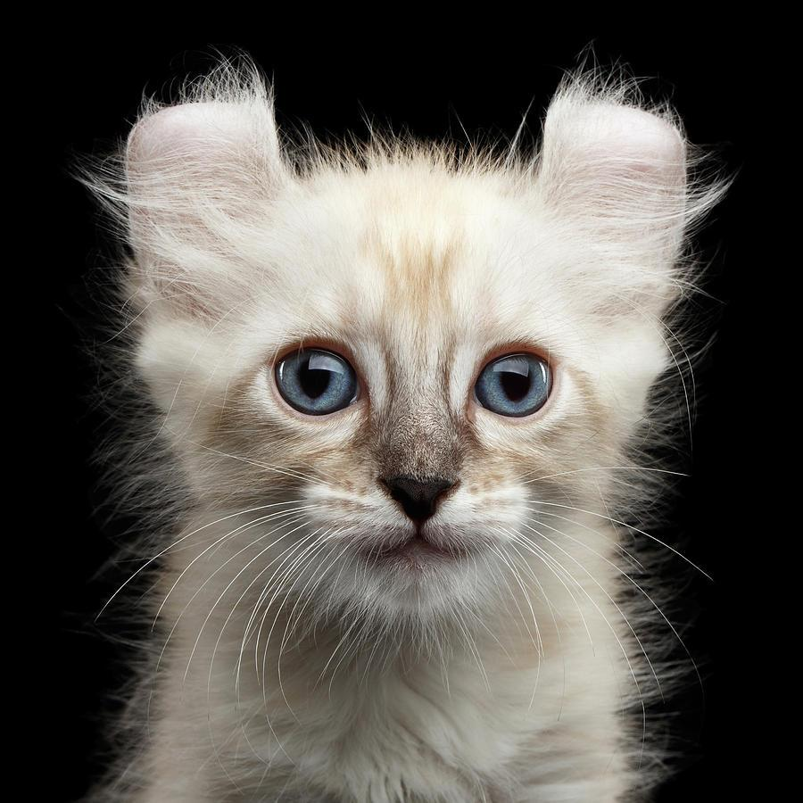 Cute American Curl Kitten with Twisted Ears Isolated Black ...