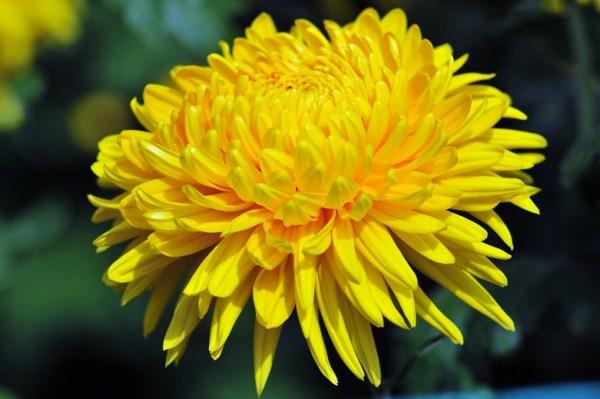 Cánh hoa cúc vừa mềm mại, vừa rất mạnh mẽ