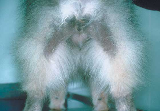 Castration-responsive dermatosis in a 5-year-old male Keeshond