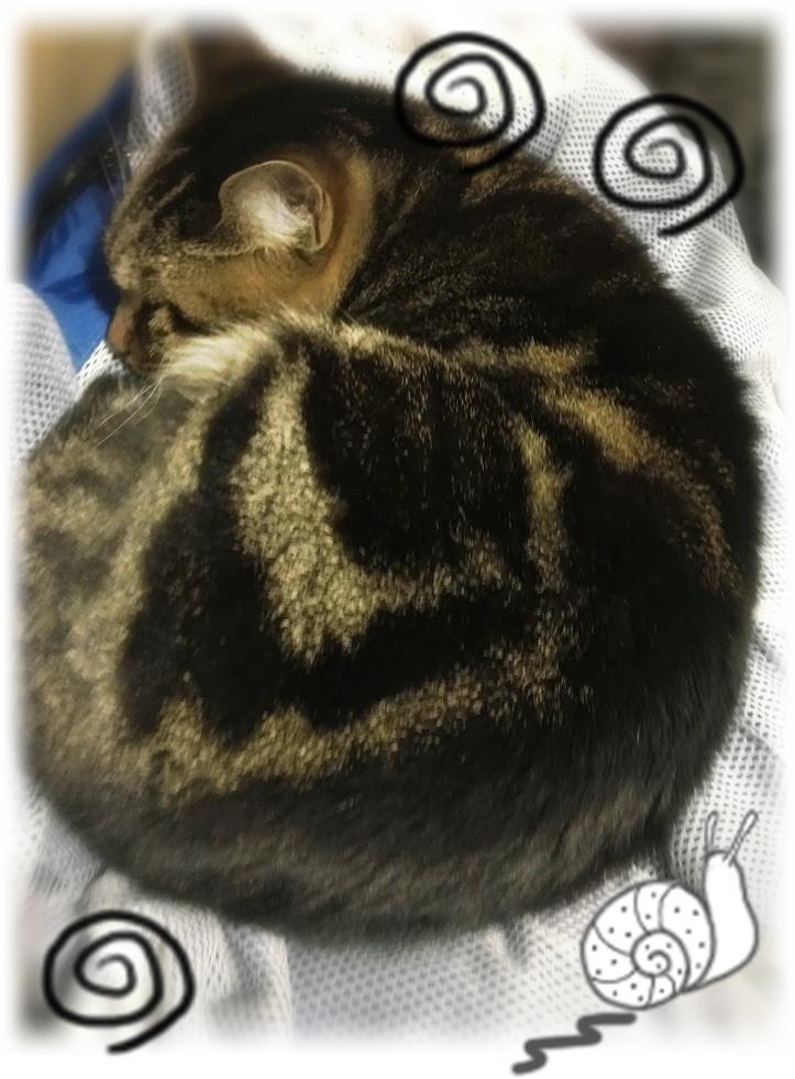 こたつが好きすぎる!ニャンモナイトになって丸くなる猫