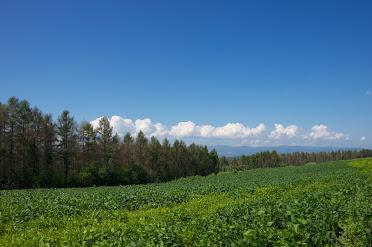青々と茂る黒千石大豆