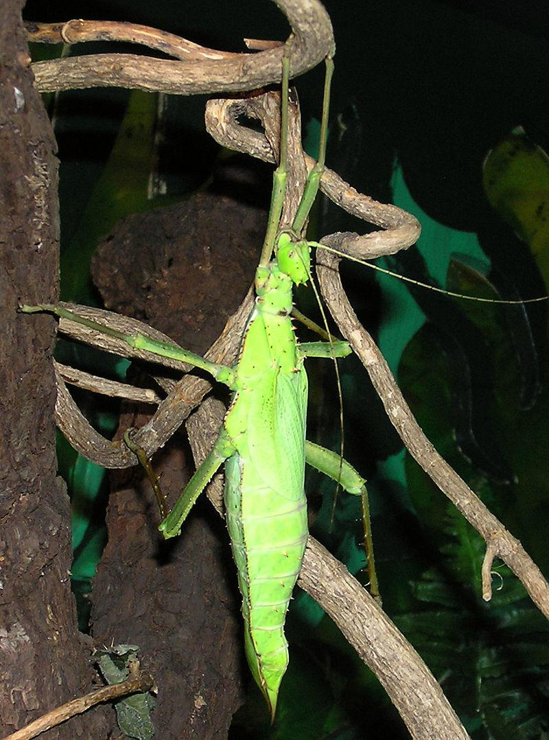 https://upload.wikimedia.org/wikipedia/commons/thumb/f/f6/Malaysian.giant.jungle.nymph.arp.jpg/800px-Malaysian.giant.jungle.nymph.arp.jpg