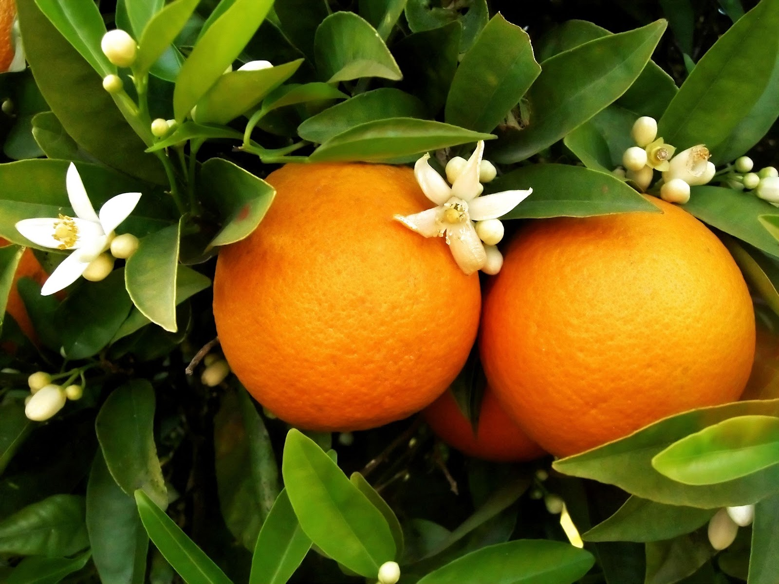 Laranja, Appelsiininkukka, UNKNOWN PORTUGAL Appelsiini Portugalissa