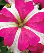 Image result for petunia tritunia rose star